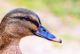 picture of male mallard  - Close up portait of a duck on grass and dirt - JPG