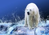 stock photo of polar bears  - White Polar Bear Hunter on the Ice in water drops - JPG