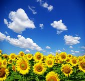 image of sunflower  - sunflower field - JPG