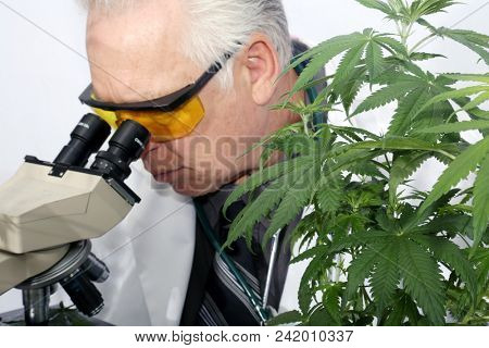 poster of Marijuana Research. A Scientist uses his Microscope to research the Benefits of Marijuana in Medical