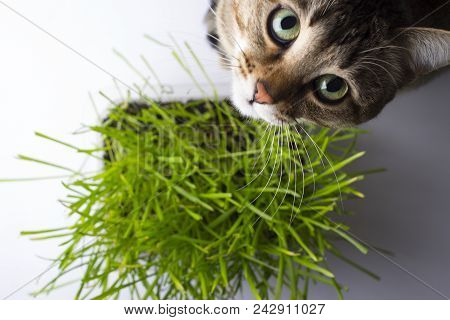poster of A pet cat eating fresh grass, on a white background. Cat sniffing and munching a vase of fresh catni