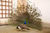 stock photo of peahen  - photo of Male peacock tail spread tail - JPG