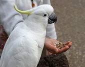 foto of palm cockatoo  - Cockatoo in Australia feeding on seeds from someone - JPG