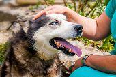 Woman Caresses Her Faithful Husky Breed Dog. Faithful Husky Breed Dog With Blue Eyes Near His Mistre poster