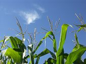 Corn Stalks Growing In Blue Sky poster