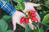 Gardener Is Holding Ripe Strawberries In Hands With Soil On The Background. Top View. Ripe And Unrip poster