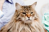 Close-up Of Siberian Cat Without Persian Admixture, Long Coat, Brown Earth Color. poster