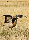 Sandhill Crane At Takeoff