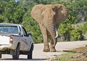pic of gentle giant  - Elephant approaching a truck on a road in South Africa - JPG