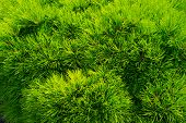 Pine Fir Tree Needles As Green Background. Christmas Tree Branches. Evergreen Forest Or Wood. Nature poster