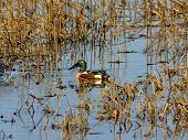 Northern Shoveler Male Duck (drake) Swimming Among Reeds. poster