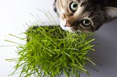A pet cat eating fresh grass, on a white background. Cat sniffing and munching a vase of fresh catni poster
