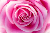 Soft Dreamy Backgound Image Of A Beautiful Pink Rose In Close Up. Pretty Romantic And Feminine Flowe poster