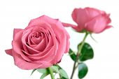 Gentle Pink Roses Flowers Ion Long Stems Solated On White Background Closeup View poster