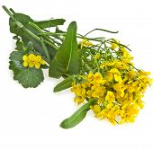 picture of cruciferous  - Flowering oilseed rapeseed  - JPG