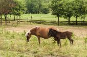 Mare And Foal On Pasture On Countryside Meadow poster
