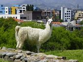 Lama At The Archaeological Garden, View At City And Inca Ruins From The Archeological Complex Pumapu poster