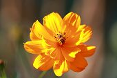Beautiful Orange Cosmos Flower On Nature Background With Bee On Flower In The Garden,close Up Cosmos poster