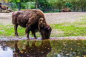 Closeup Of A European Bison Drinking Water, Vulnerable Animal Specie From Europe poster