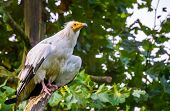 Closeup Portrait Of A White Egyptian Vulture, Scavenger Bird Specie From Africa poster