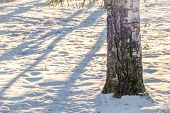 Trunk Of A Birch Tree Trunk In The White Snow, Background. poster