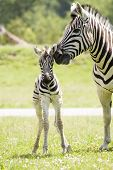 pic of baby animal  - A mother zebra taking care of her baby - JPG