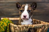 Basenji Puppy Dog In A Basket With Knitted Mitt poster