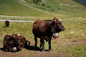 Black Herens Cows With Traditional Swiss Bell On A Meadow In The Swiss Alpine Village Zinal. Annivie poster