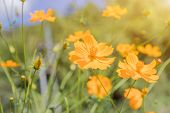 Yellow Cosmos Flower Field With Blue Sky,cosmos Flower Field Blooming Spring Flowers Season poster