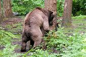 picture of mating bears  - Bears Breeding as seen in public in Alaska - JPG