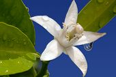pic of orange blossom  - White Orange Blossom with Water Drop in Full Bloom Against Blue Sky - JPG