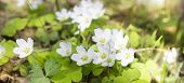 Spring Banner With Snowdrops, First Early Flowers In Forest In Early Morning In Sunshine. poster