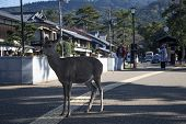 Japanese Deer Stand In The Middle Of Road In Nara, Japan poster