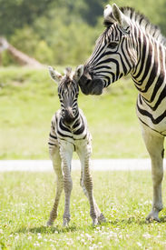image of baby animal  - A mother zebra taking care of her baby - JPG