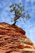 Pine Tree Growing Atop A Sandstone Formation In Zion