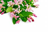 stock photo of honeysuckle  - Bouquet of honeysuckle branches with pink flowers and green leaves isolated on white background - JPG