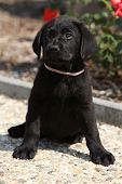 Gorgeous Labrador Retriever Puppy Sitting