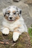 Adorable Australian Shepherd Puppy Smiling