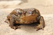 Amphibian, Bufo bufo, Common Toad on rock