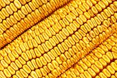 Corn cobs, grains