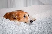 picture of sweet dreams  - sweet border collie dog dreaming in studio - JPG