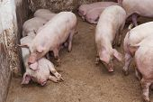 picture of slaughter  - Ready for slaughtering pigs on the farm - JPG