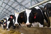 picture of calf cow  - Holstein dairy cows are fed in a farm - JPG