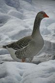 image of snow goose  - Greylag Goose from side - JPG