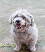 picture of bichon frise dog  - portrait of a happy bichon frise dog - JPG