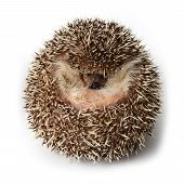 picture of albinos  - Pygmy hedgehog act like a round ball to the defense from enemies - JPG