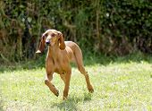 stock photo of scenthound  - A young beautiful fawn red brown smooth coated Segugio Italiano dog running on the grass - JPG