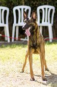 foto of belgian shepherd  - A young beautiful black and mahogany Belgian Shepherd Dog standing on the grass sticking its tongue out - JPG