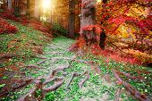 stock photo of redwood forest  - Beautiful autumn forest in red and orange tones - JPG
