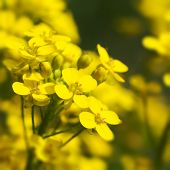 foto of biodiesel  - Canola yellow Rapeseed flowers grown as cooking oil or conversion to biodiesel - JPG